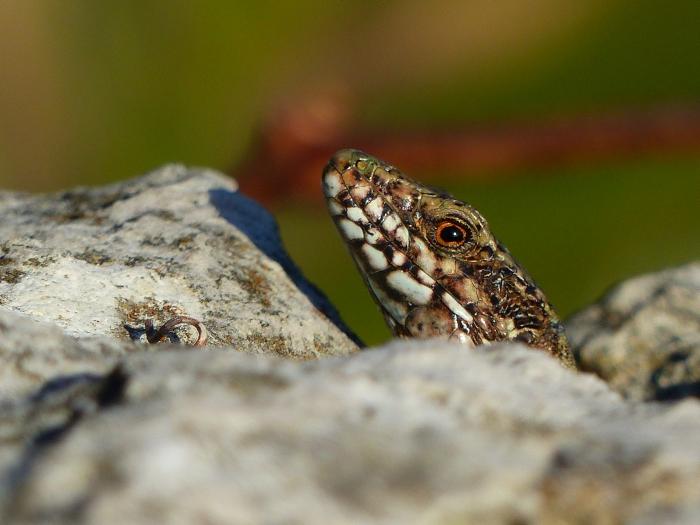 Foto tomada a una lagartija que correteaba por el mareógrafo de Santander, situado en el Palacio de la Magdalena